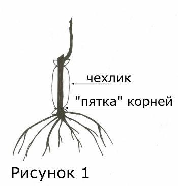Саженцы винограда - рисунок Ивана Мальцева