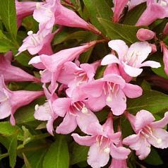 Вейгела цветущая Пинк Поппет (Pink Poppet)